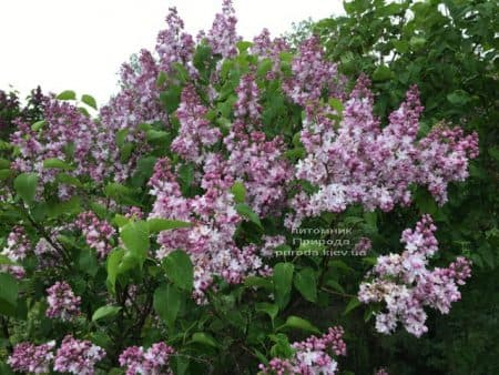 Сирень Мадам Антуан Бюхнер (Syringa vulgaris Mme Antoine Buchner) ФОТО Питомник растений Природа (14)