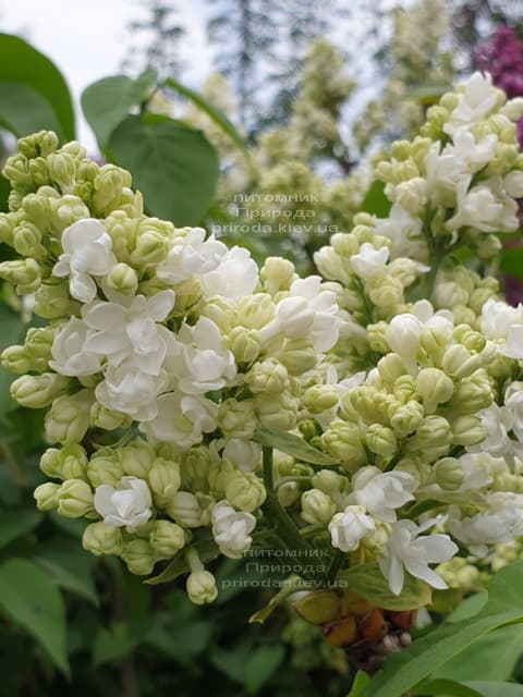 Бузок Мадам Лемуан (Syringa vulgaris Mme Lemoine) ФОТО Розплідник рослин Природа (2)