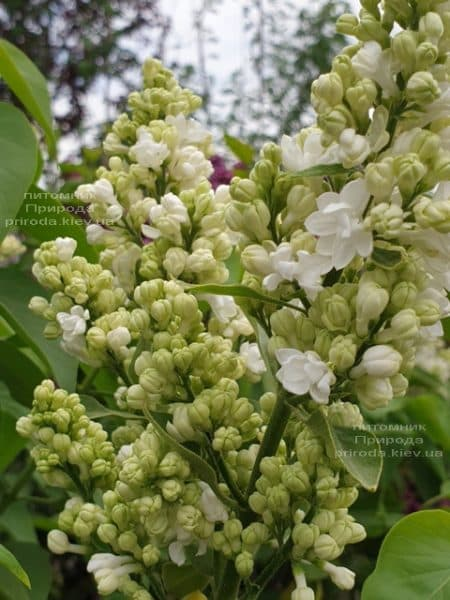 Бузок Мадам Лемуан (Syringa vulgaris Mme Lemoine) ФОТО Розплідник рослин Природа (3)