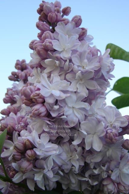 Бузок Мішель Бюхнер (Syringa vulgaris Michel Buchner) ФОТО Розплідник рослин Природа (23)