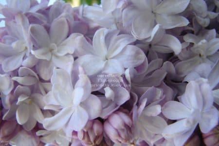 Бузок Мішель Бюхнер (Syringa vulgaris Michel Buchner) ФОТО Розплідник рослин Природа (24)