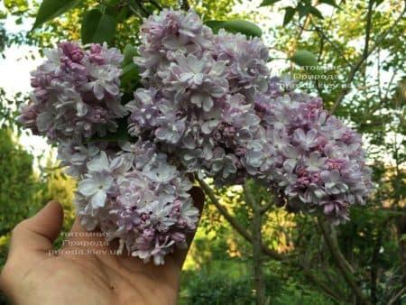 Бузок Мішель Бюхнер (Syringa vulgaris Michel Buchner) ФОТО Розплідник рослин Природа (25)