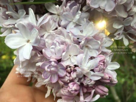 Бузок Мішель Бюхнер (Syringa vulgaris Michel Buchner) ФОТО Розплідник рослин Природа (26)