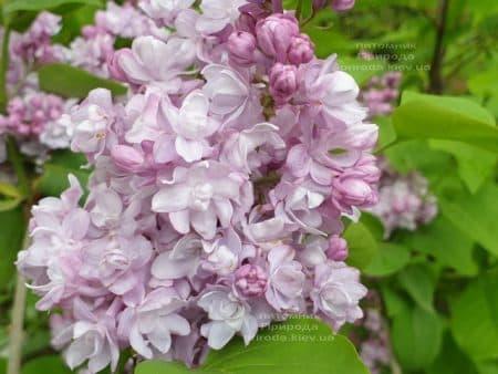Сирень Мишель Бюхнер (Syringa vulgaris Michel Buchner) ФОТО Питомник растений Природа (28)