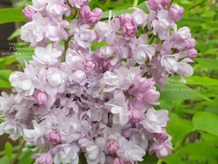 Сирень Мишель Бюхнер (Syringa vulgaris Michel Buchner) ФОТО Питомник растений Природа (29)