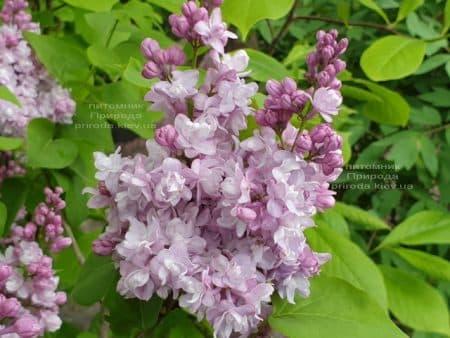 Сирень Мишель Бюхнер (Syringa vulgaris Michel Buchner) ФОТО Питомник растений Природа (30)