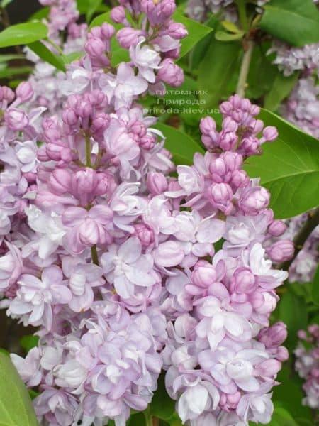 Сирень Мишель Бюхнер (Syringa vulgaris Michel Buchner) ФОТО Питомник растений Природа (31)