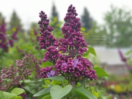 Сирень Мрия (Мечта) (Syringa vulgaris Mrija) ФОТО Питомник растений Природа (10)