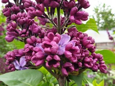 Сирень Мрия (Мечта) (Syringa vulgaris Mrija) ФОТО Питомник растений Природа (11)