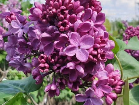 Сирень Мрия (Мечта) (Syringa vulgaris Mrija) ФОТО Питомник растений Природа (12)