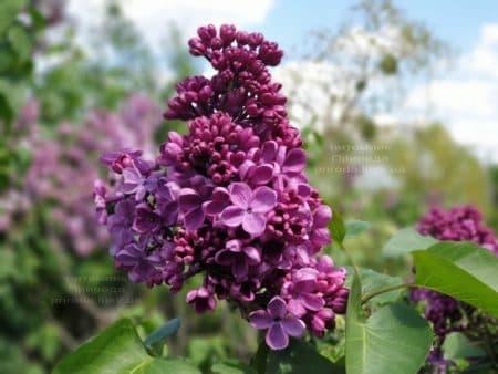 Сирень Мрия (Мечта) (Syringa vulgaris Mrija) ФОТО Питомник растений Природа (13)