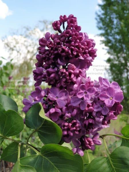 Сирень Мрия (Мечта) (Syringa vulgaris Mrija) ФОТО Питомник растений Природа (14)