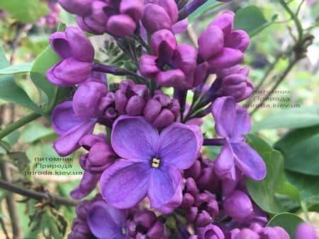 Сирень Мрия (Мечта) (Syringa vulgaris Mrija) ФОТО Питомник растений Природа (7)