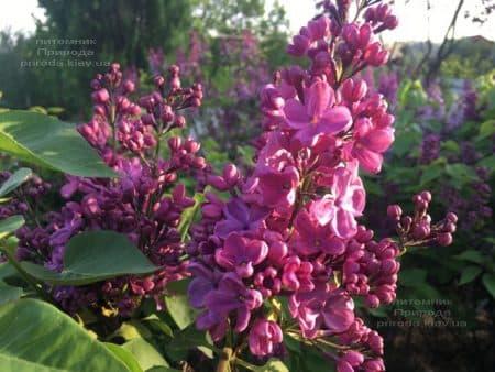 Сирень Мрия (Мечта) (Syringa vulgaris Mrija) ФОТО Питомник растений Природа (8)