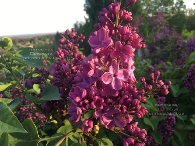 Сирень Мрия (Мечта) (Syringa vulgaris Mrija) ФОТО Питомник растений Природа (9)