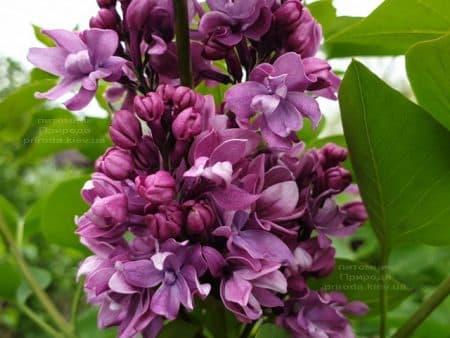 Сирень Огни Донбасса (Syringa vulgaris Ogni Donbassa) ФОТО Питомник растений Природа (15)