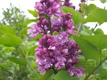 Сирень Огни Донбасса (Syringa vulgaris Ogni Donbassa) ФОТО Питомник растений Природа (16)