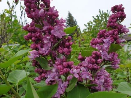 Сирень Огни Донбасса (Syringa vulgaris Ogni Donbassa) ФОТО Питомник растений Природа (17)
