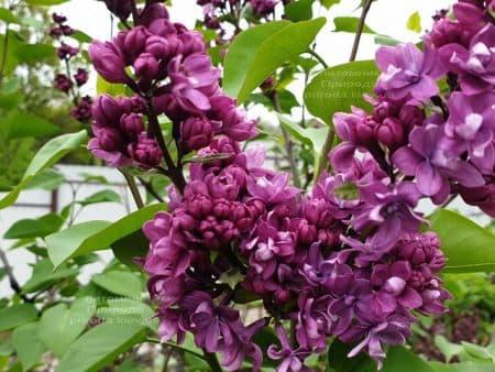 Сирень Огни Донбасса (Syringa vulgaris Ogni Donbassa) ФОТО Питомник растений Природа (19)
