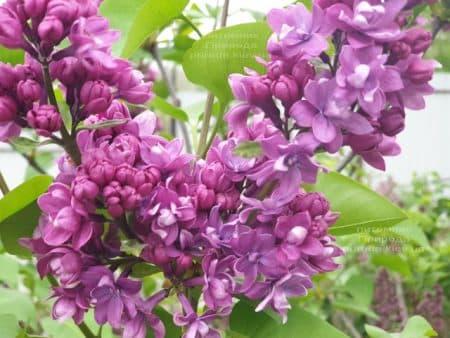 Сирень Огни Донбасса (Syringa vulgaris Ogni Donbassa) ФОТО Питомник растений Природа (21)