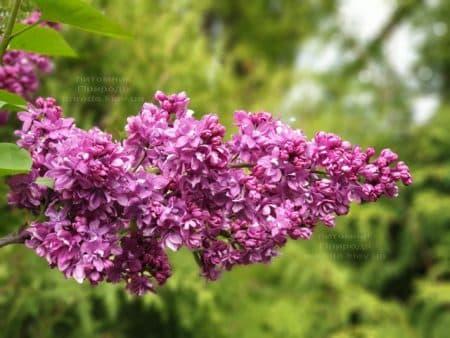 Сирень Огни Донбасса (Syringa vulgaris Ogni Donbassa) ФОТО Питомник растений Природа (22)