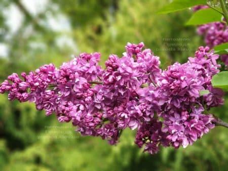 Сирень Огни Донбасса (Syringa vulgaris Ogni Donbassa) ФОТО Питомник растений Природа (23)