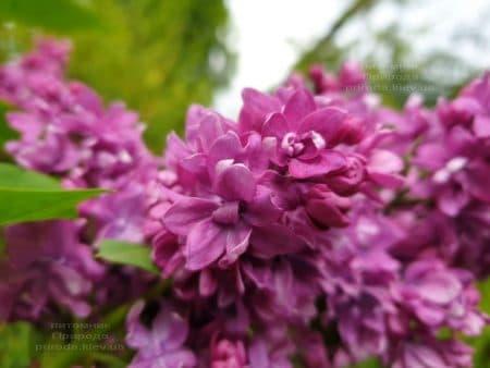 Сирень Огни Донбасса (Syringa vulgaris Ogni Donbassa) ФОТО Питомник растений Природа (25)