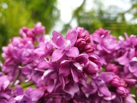 Сирень Огни Донбасса (Syringa vulgaris Ogni Donbassa) ФОТО Питомник растений Природа (26)