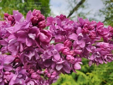 Сирень Огни Донбасса (Syringa vulgaris Ogni Donbassa) ФОТО Питомник растений Природа (27)