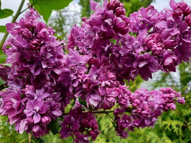 Сирень Огни Донбасса (Syringa vulgaris Ogni Donbassa) ФОТО Питомник растений Природа (28)
