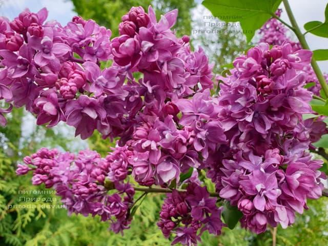 Сирень Огни Донбасса (Syringa vulgaris Ogni Donbassa) ФОТО Питомник растений Природа (29)