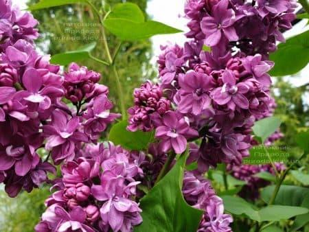 Сирень Огни Донбасса (Syringa vulgaris Ogni Donbassa) ФОТО Питомник растений Природа (31)