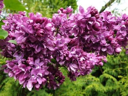 Сирень Огни Донбасса (Syringa vulgaris Ogni Donbassa) ФОТО Питомник растений Природа (32)