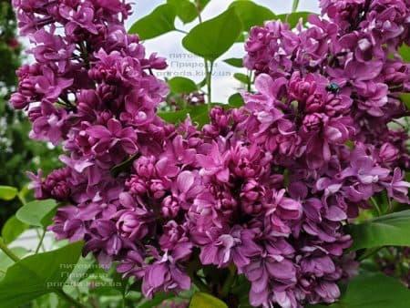 Сирень Огни Донбасса (Syringa vulgaris Ogni Donbassa) ФОТО Питомник растений Природа (34)