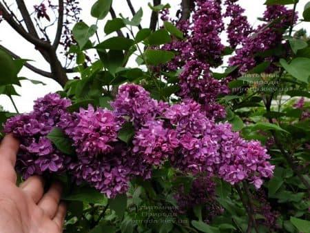 Сирень Огни Донбасса (Syringa vulgaris Ogni Donbassa) ФОТО Питомник растений Природа (35)