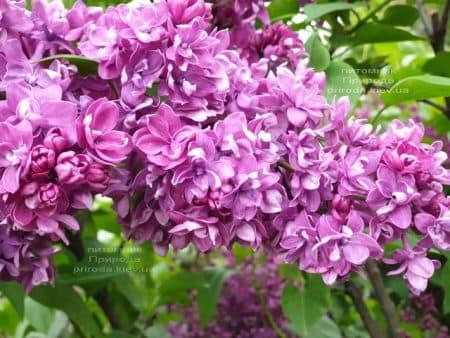 Сирень Огни Донбасса (Syringa vulgaris Ogni Donbassa) ФОТО Питомник растений Природа (36)