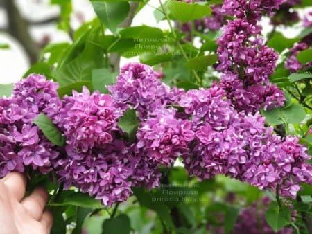 Сирень Огни Донбасса (Syringa vulgaris Ogni Donbassa) ФОТО Питомник растений Природа (37)