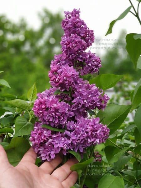 Сирень Огни Донбасса (Syringa vulgaris Ogni Donbassa) ФОТО Питомник растений Природа (38)