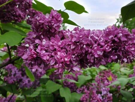 Сирень Огни Донбасса (Syringa vulgaris Ogni Donbassa) ФОТО Питомник растений Природа (40)