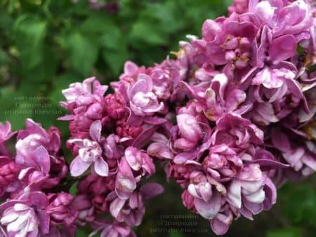 Сирень Огни Донбасса (Syringa vulgaris Ogni Donbassa) ФОТО Питомник растений Природа (41)