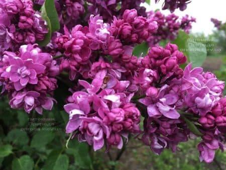 Сирень Огни Донбасса (Syringa vulgaris Ogni Donbassa) ФОТО Питомник растений Природа (42)