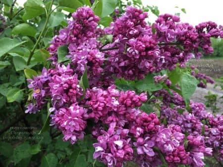 Сирень Огни Донбасса (Syringa vulgaris Ogni Donbassa) ФОТО Питомник растений Природа (43)