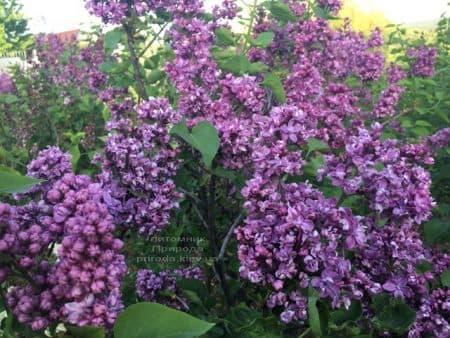 Сирень Огни Донбасса (Syringa vulgaris Ogni Donbassa) ФОТО Питомник растений Природа (44)