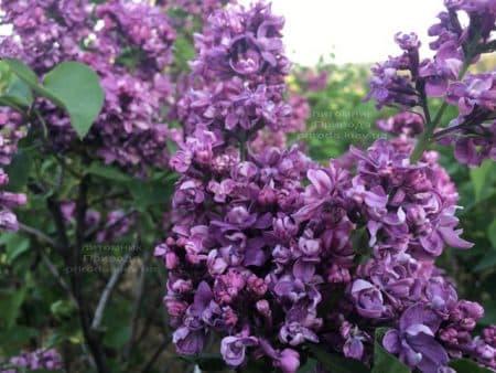 Сирень Огни Донбасса (Syringa vulgaris Ogni Donbassa) ФОТО Питомник растений Природа (45)