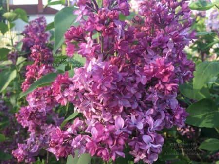 Сирень Огни Донбасса (Syringa vulgaris Ogni Donbassa) ФОТО Питомник растений Природа (46)