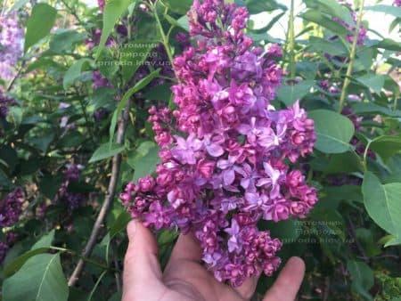Сирень Огни Донбасса (Syringa vulgaris Ogni Donbassa) ФОТО Питомник растений Природа (47)