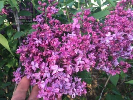 Сирень Огни Донбасса (Syringa vulgaris Ogni Donbassa) ФОТО Питомник растений Природа (48)