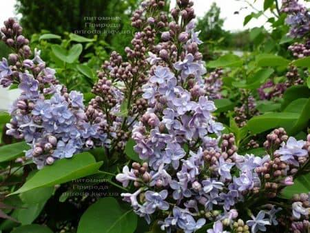 Сирень Президент Греви (Syringa President Grevy) ФОТО Питомник растений Природа (14)