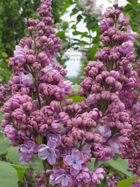 Сирень Президент Греви (Syringa President Grevy) ФОТО Питомник растений Природа (16)