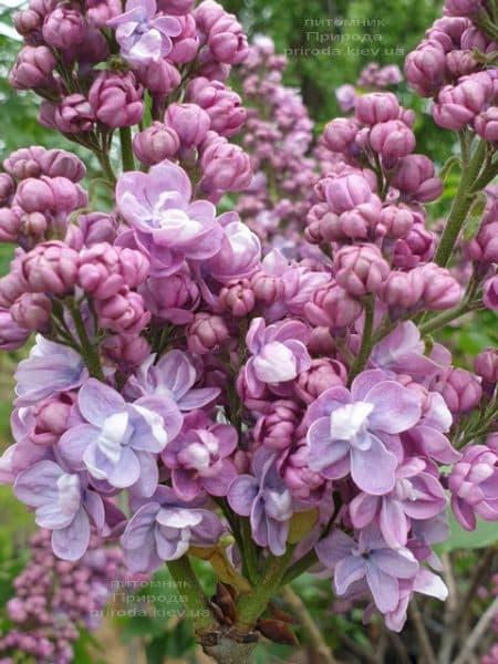 Сирень Президент Греви (Syringa President Grevy) ФОТО Питомник растений Природа (17)